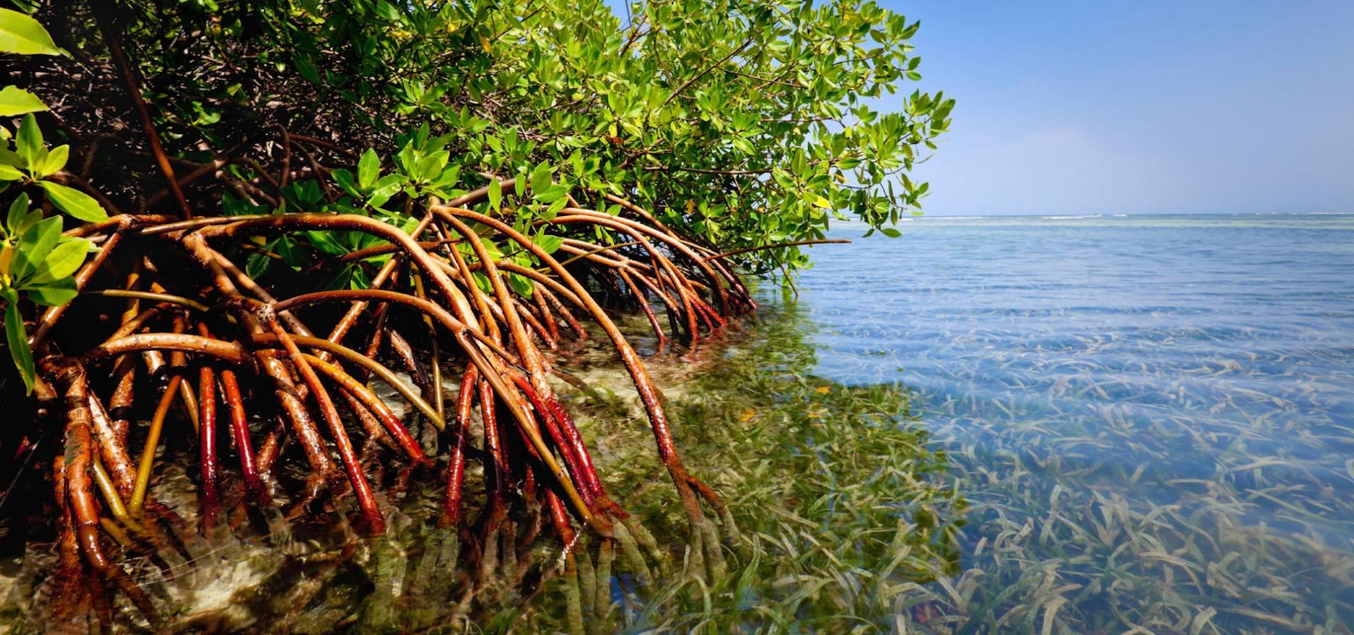коряги мангрового дерева