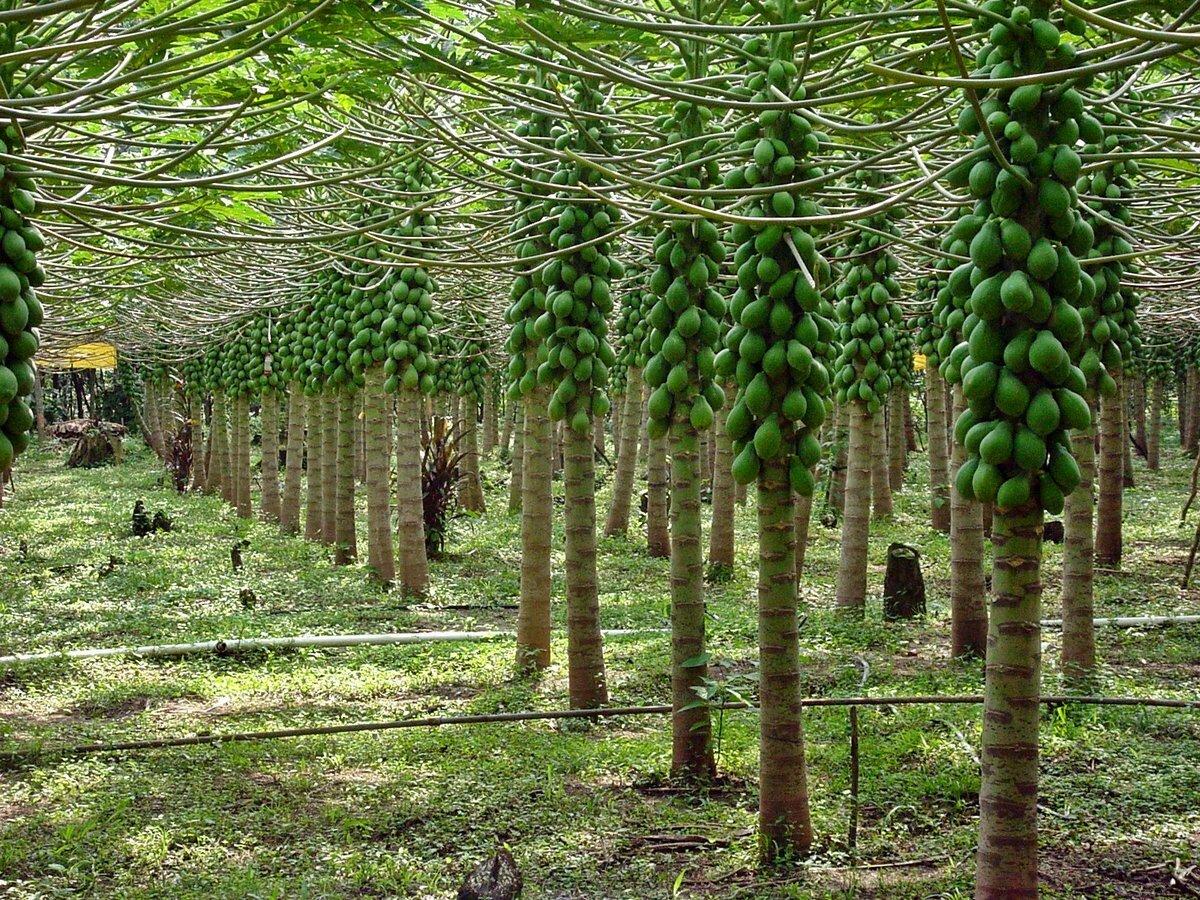 плод дынного дерева