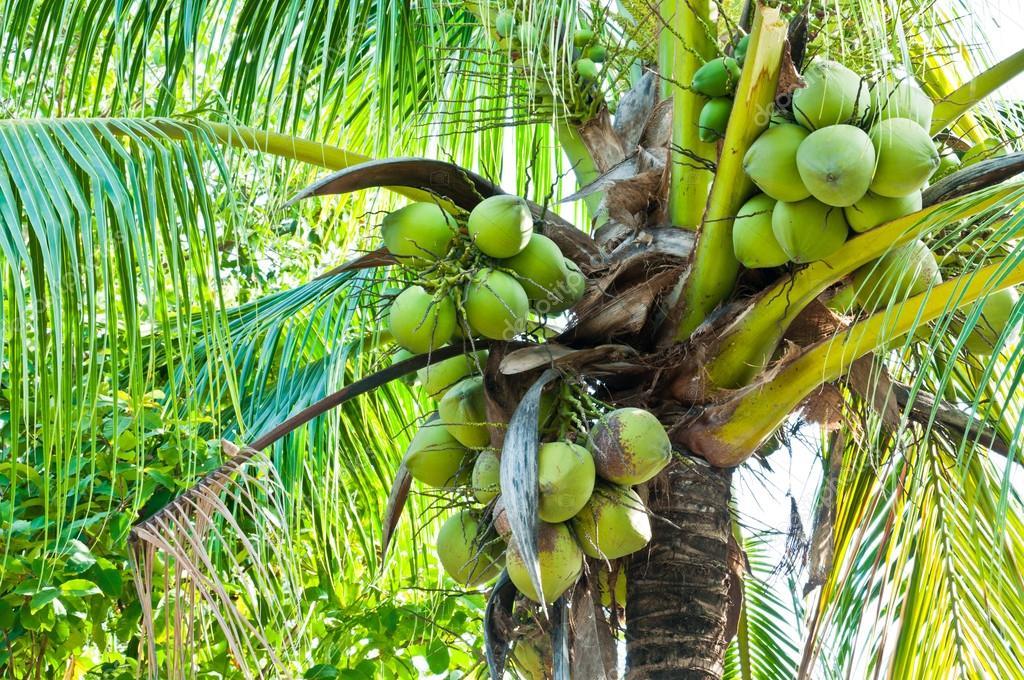 папайя дынное дерево