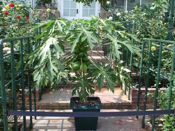 дынное дерево тропиков