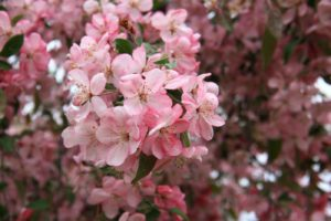 яблоня декоративное растение