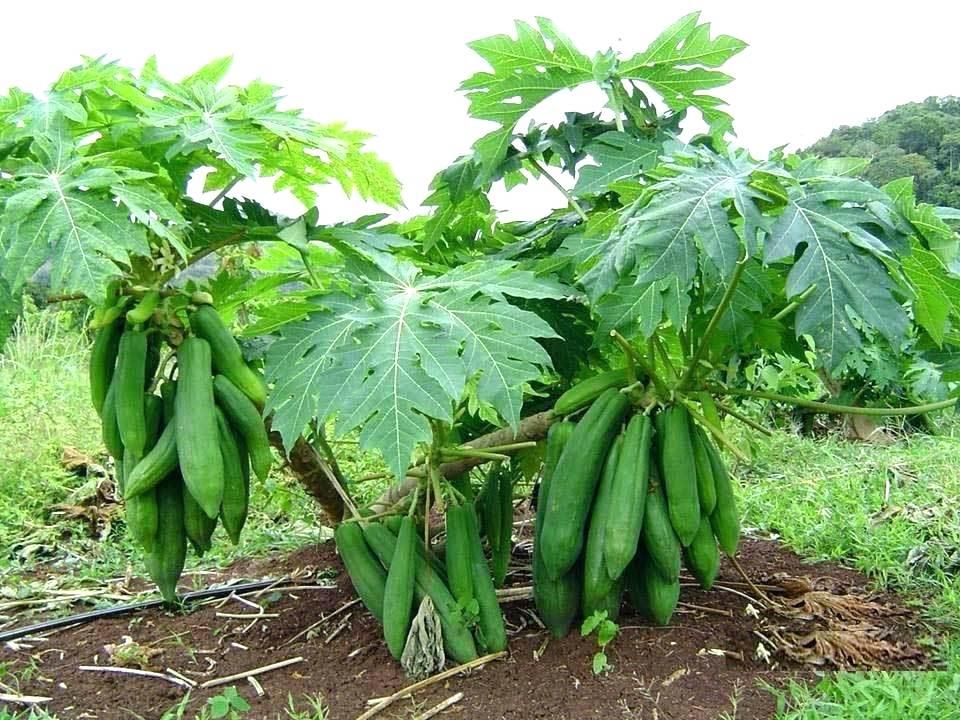 дынное дерево семена