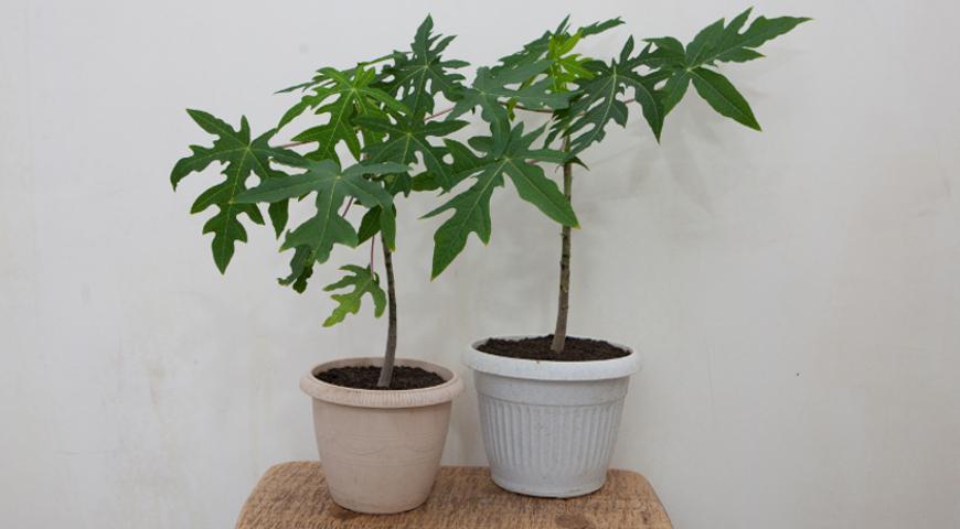 папайя дынное дерево в домашних условиях