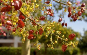 дерево кельрейтерия