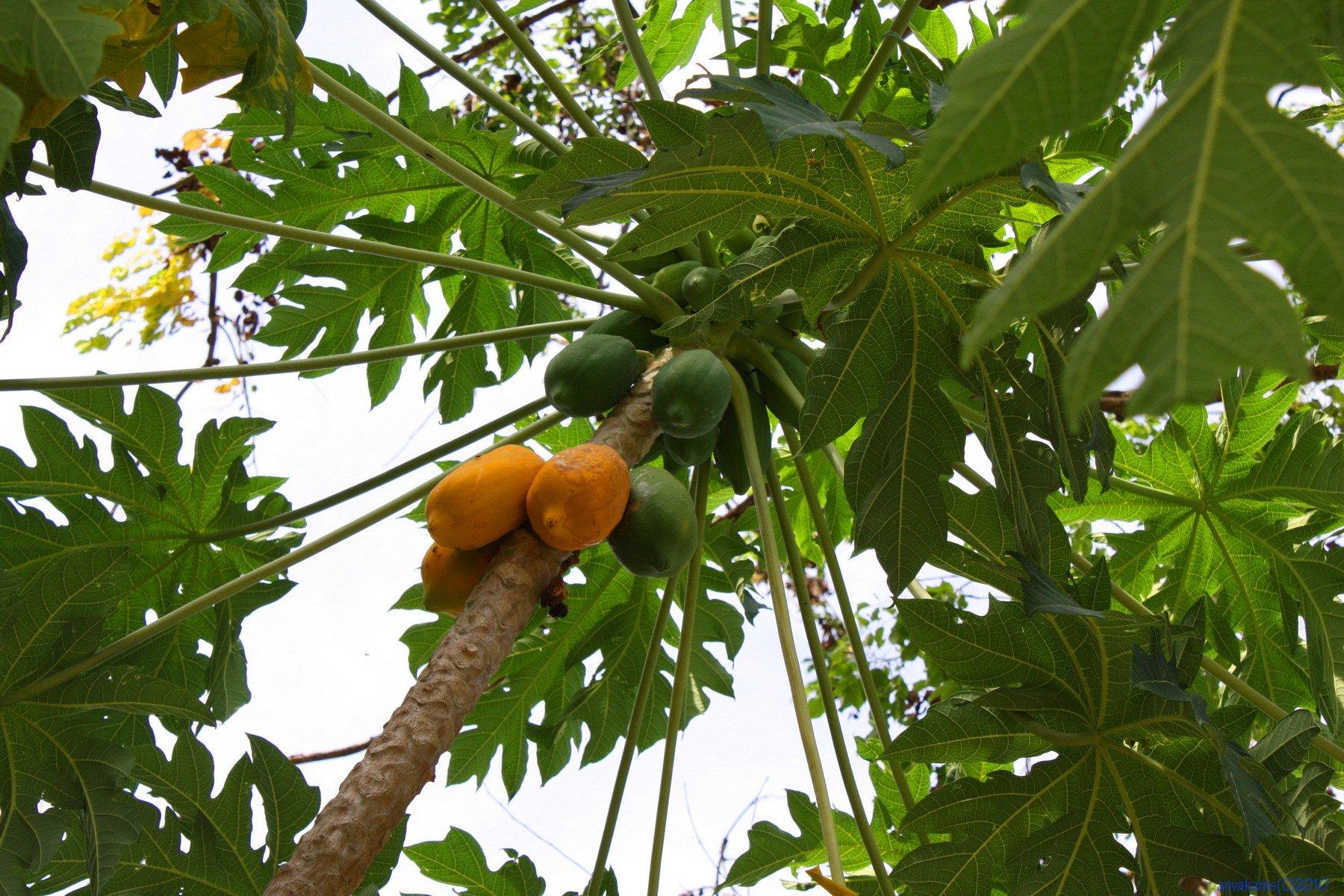 папайя дынное дерево выращивание из семян