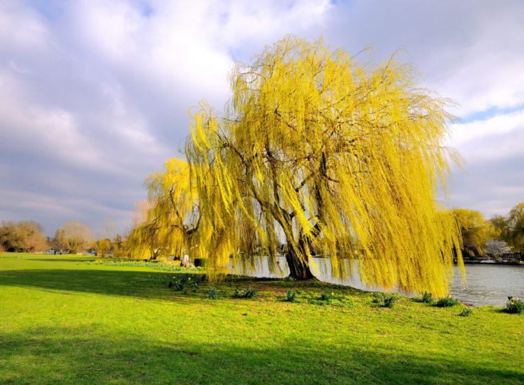 посадить дерево ивы