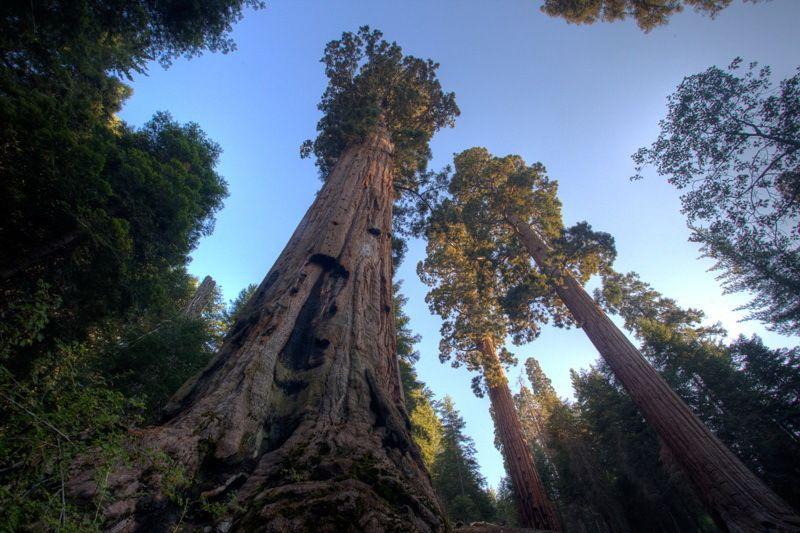 высота секвойи вечнозеленой