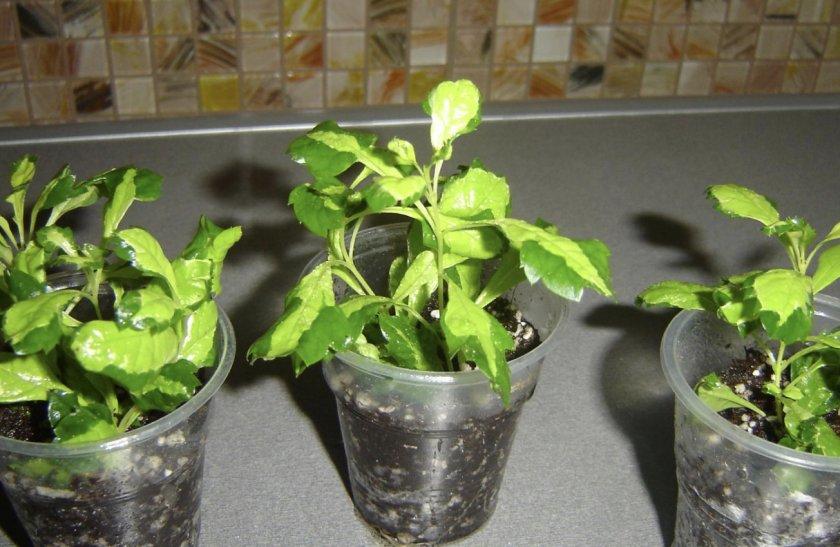 растение дуранта