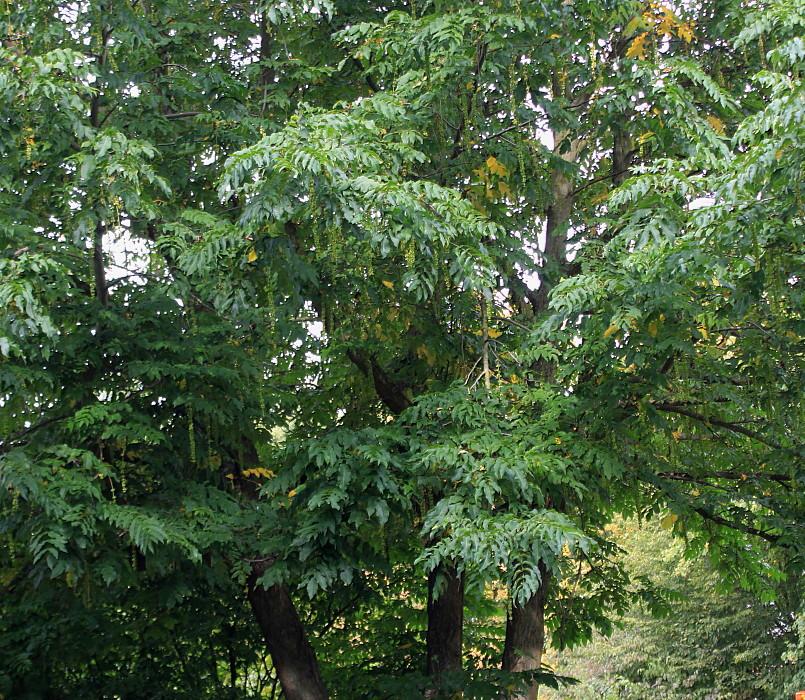лапина дерево