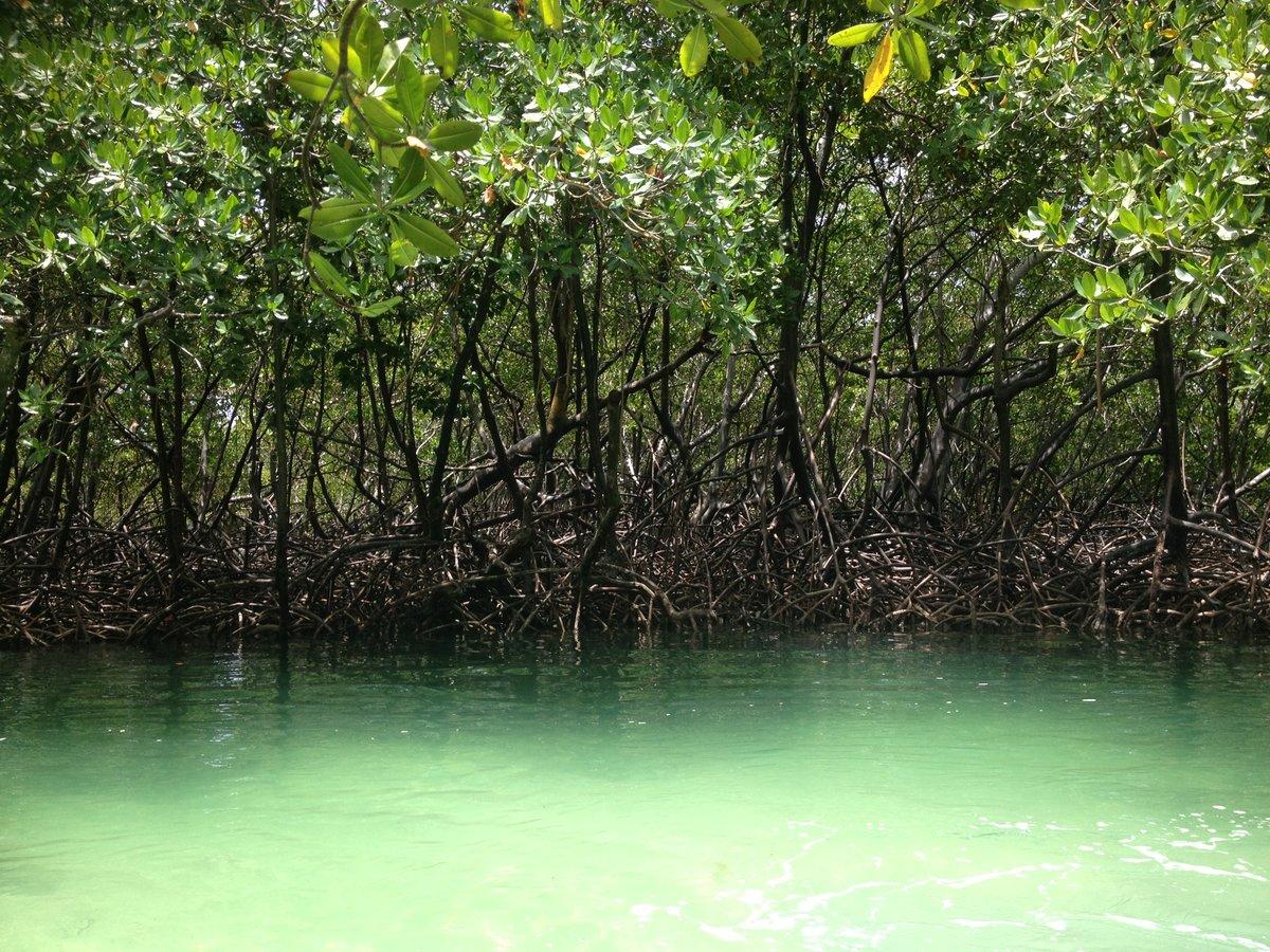 где растет мангровое дерево