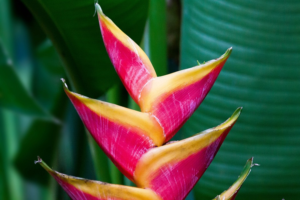 растение геликония