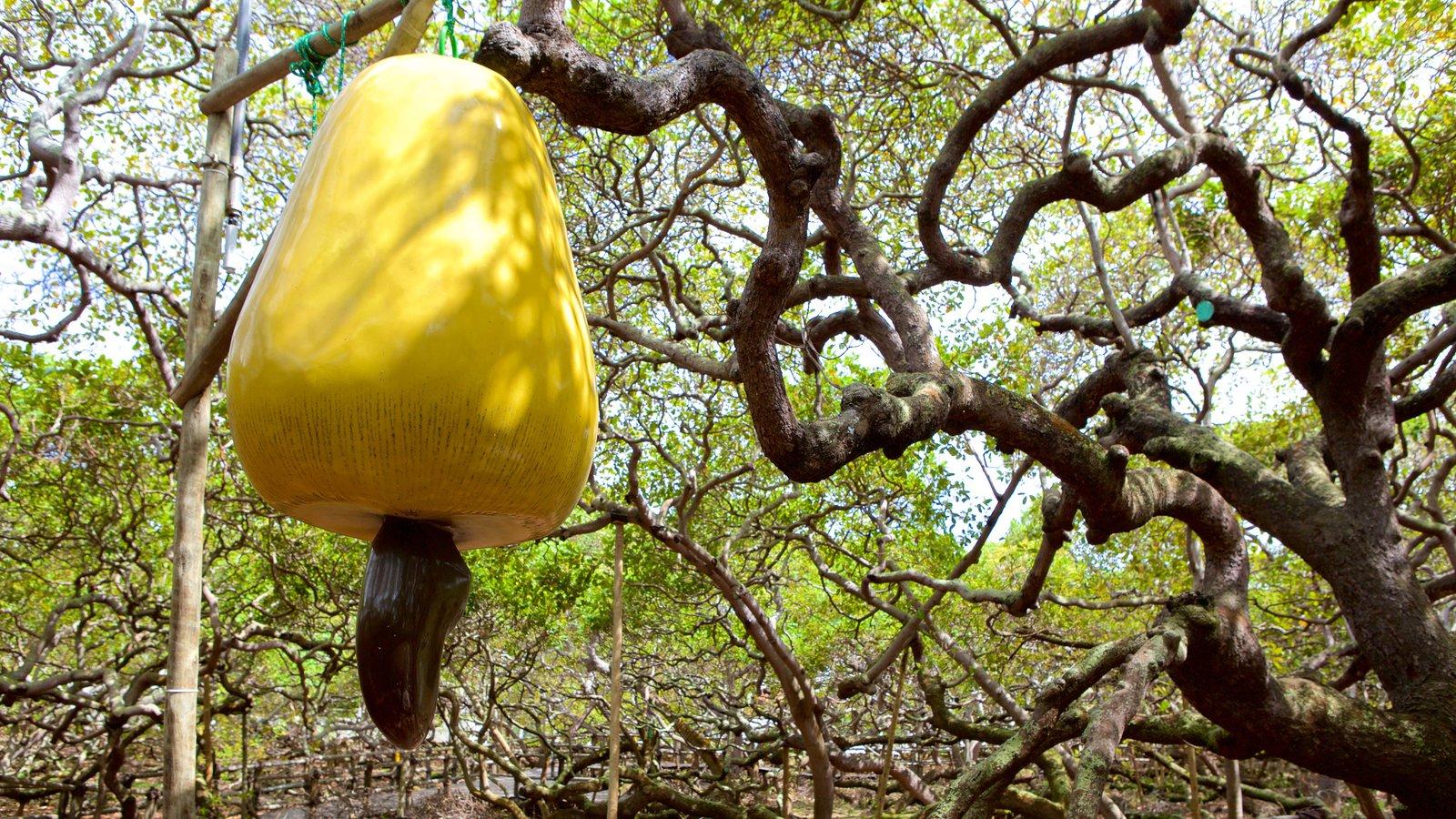 дерево кешью пиранжи