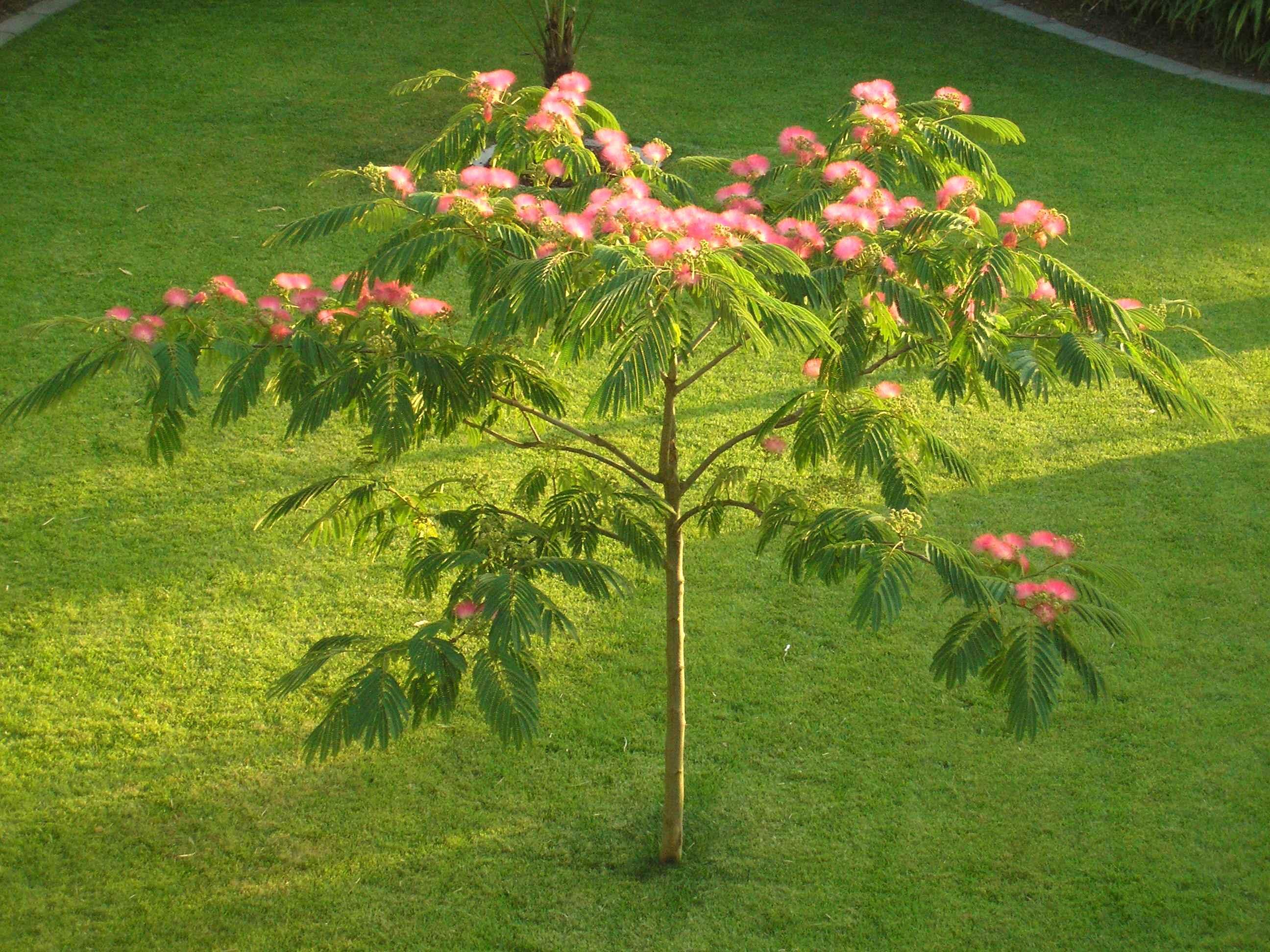альбиция дерево