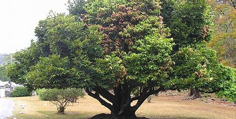 кора хинного дерева