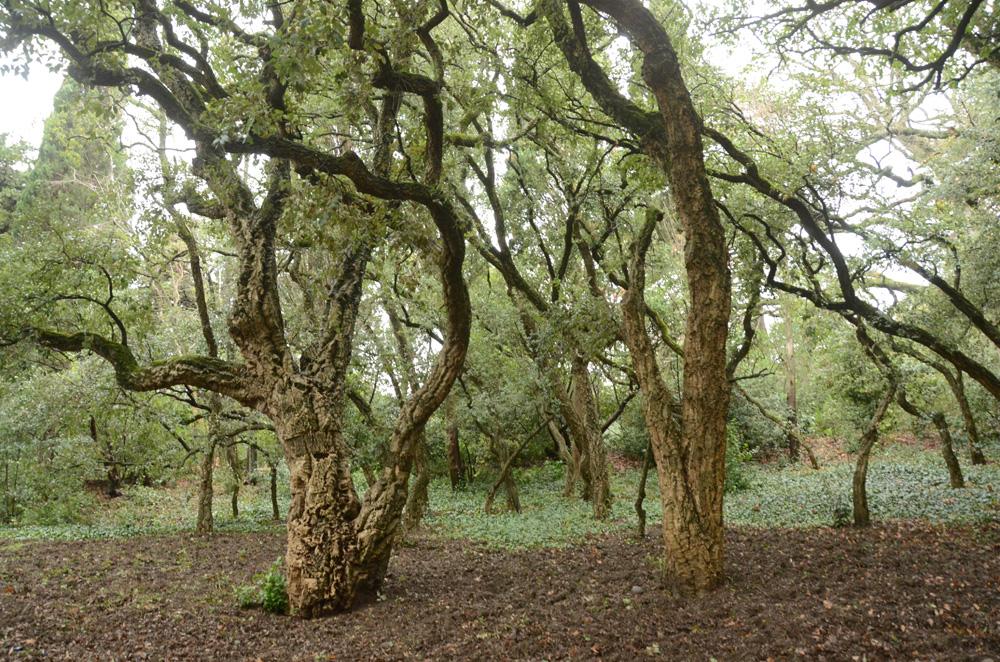 пробковый дуб
