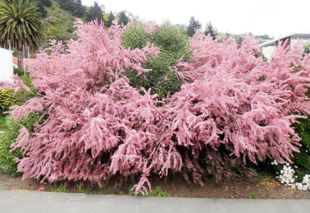 тамарикс цветение