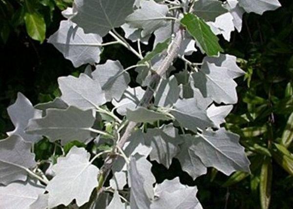 тополь листва