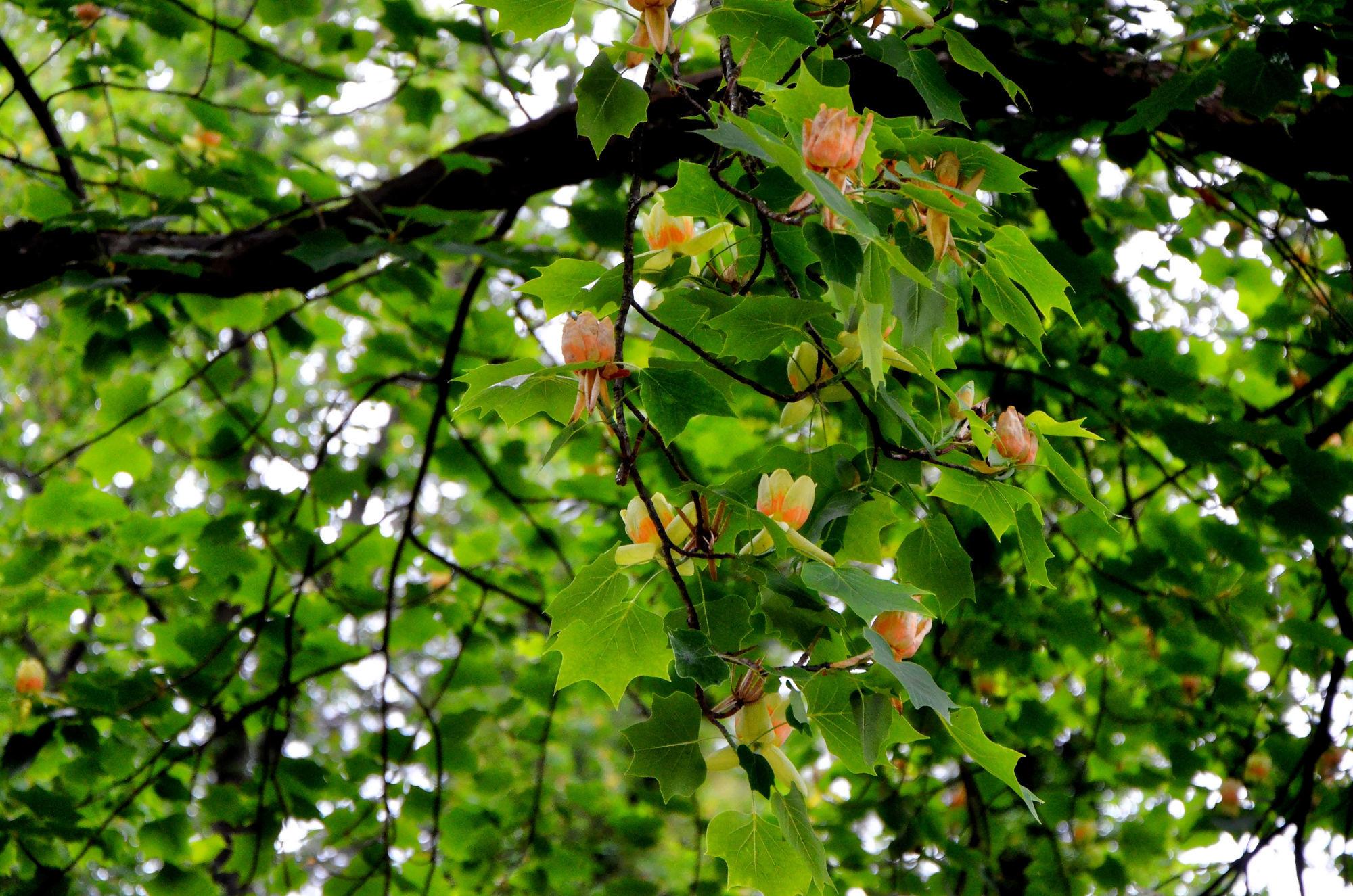 дерево лириодендрон