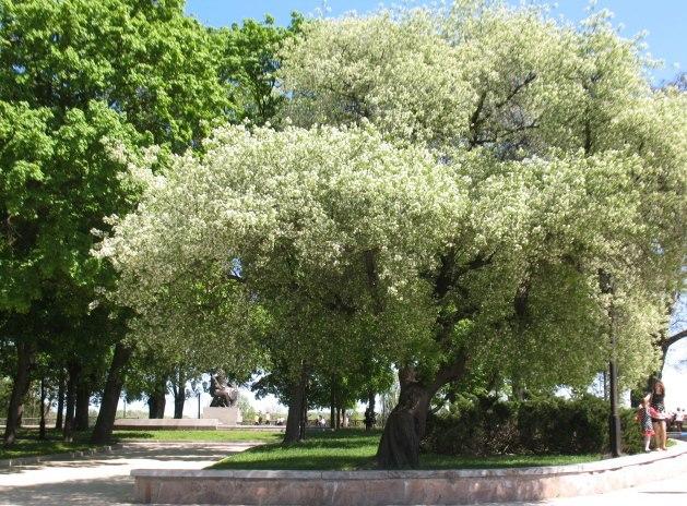 кучина дерево