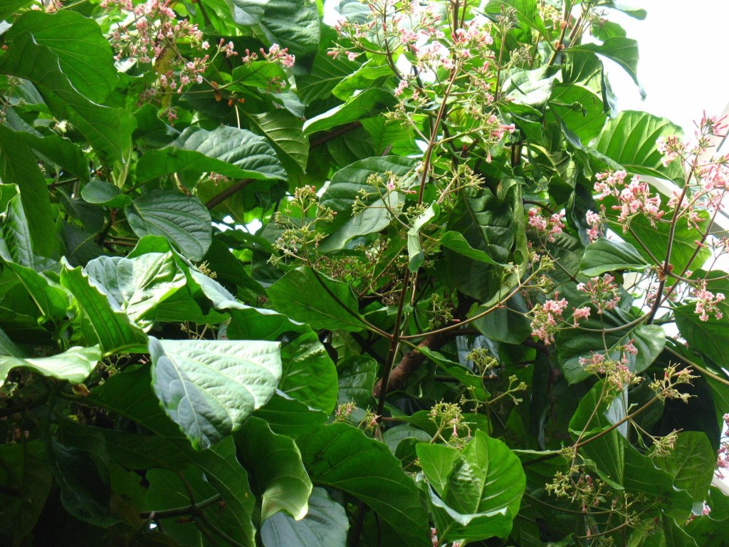 хинное дерево в южной америке