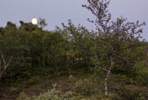 растение карликовая берёза
