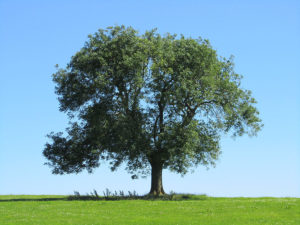 ясень свойства дерева