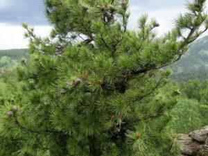 кедр описание растения