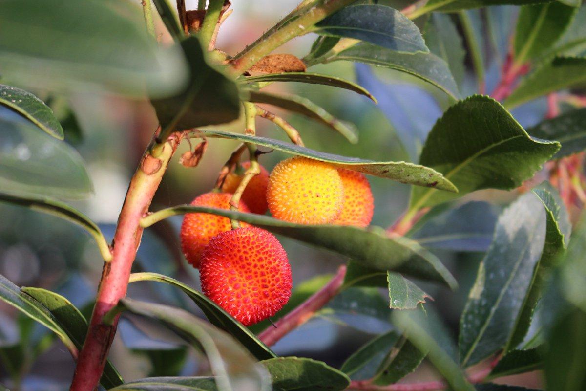 арбутус земляничное дерево