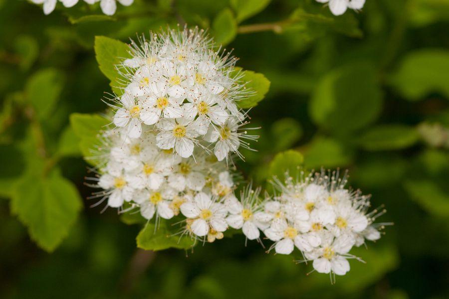 черемуха маака цветение