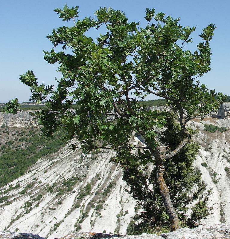 дуб скальный выращивание