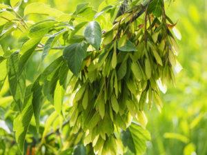 дерево клен ясенелистный