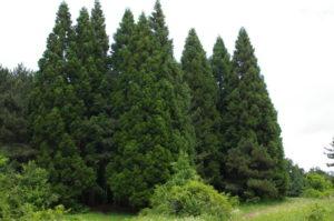 кедр хвойное дерево