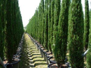 уход выращивание кипарисовика