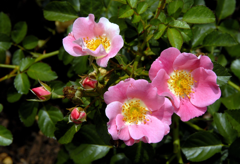 розовые цветы шиповника