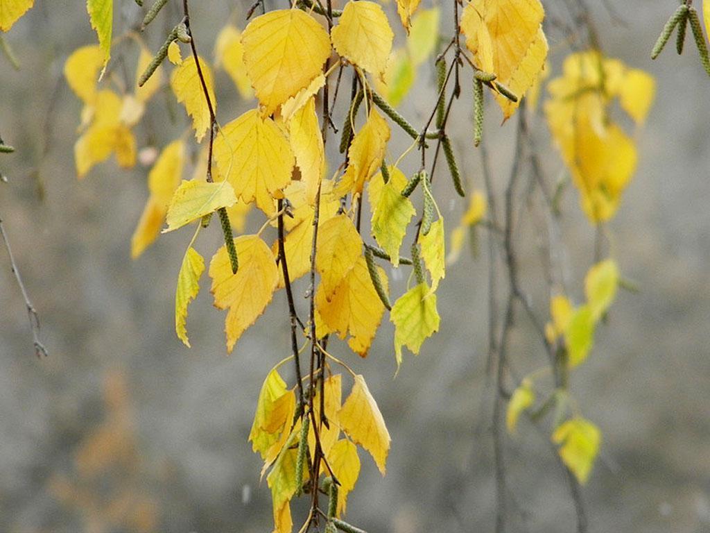 жёлтые берёзовые листья