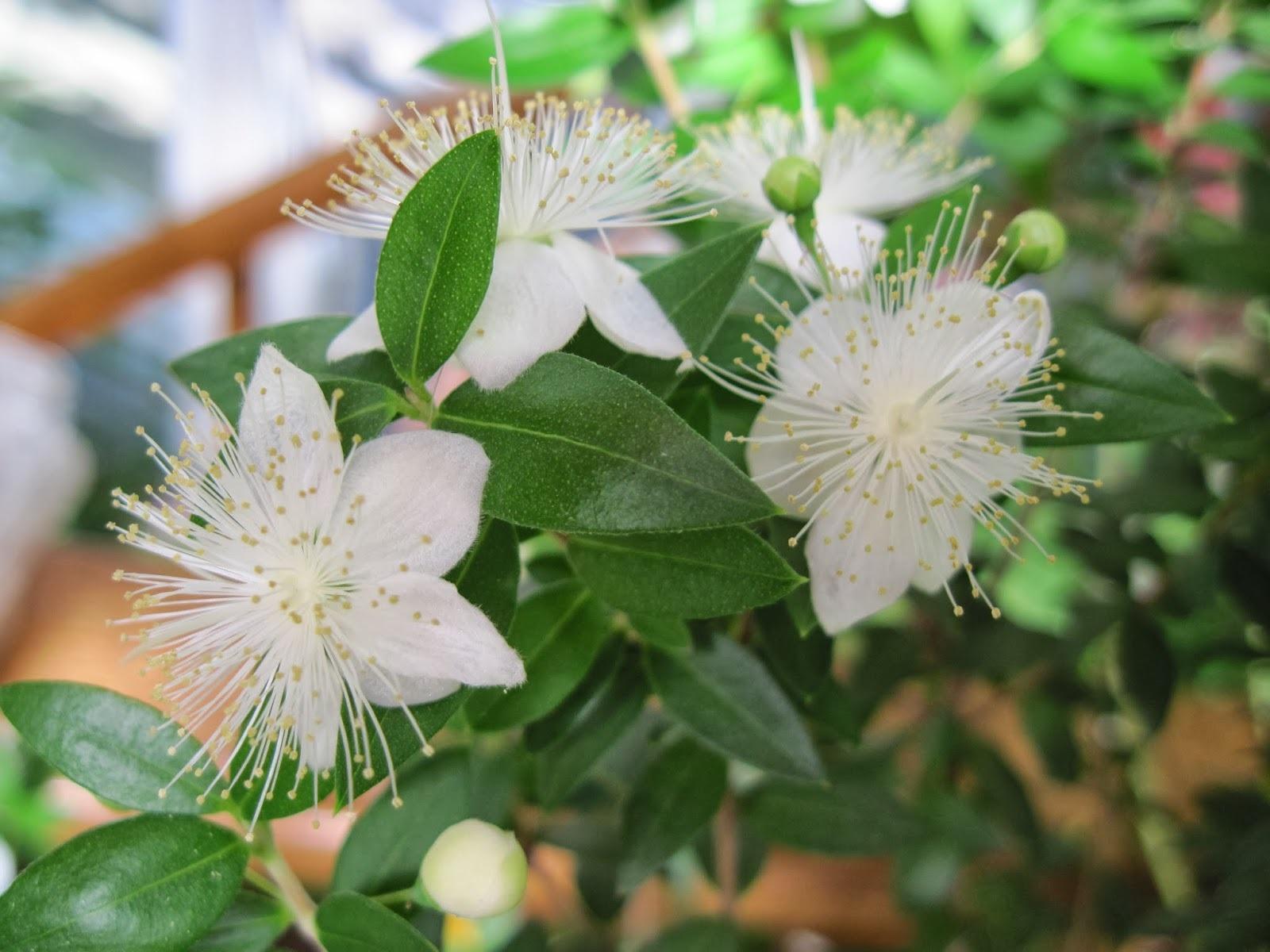 цветение мирта