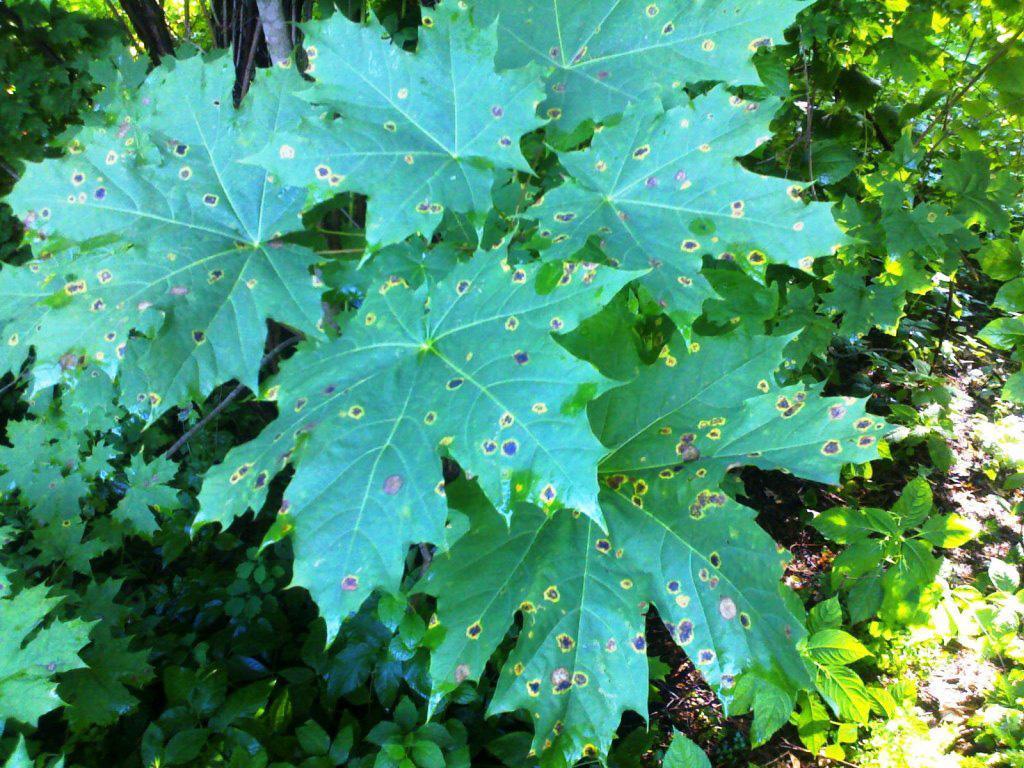 пятна на листьях клёна