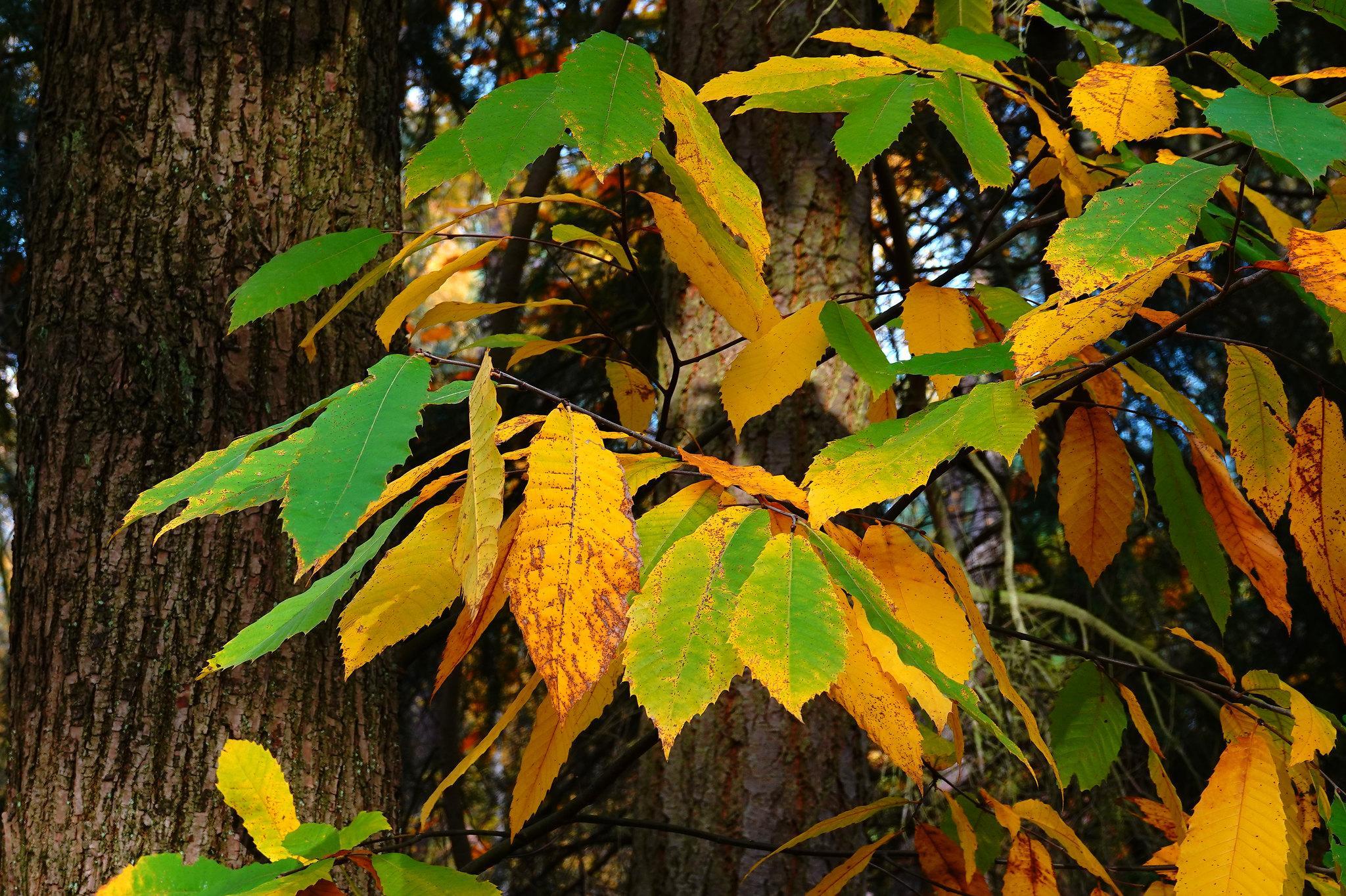 жёлтые и зелёные листья каштана