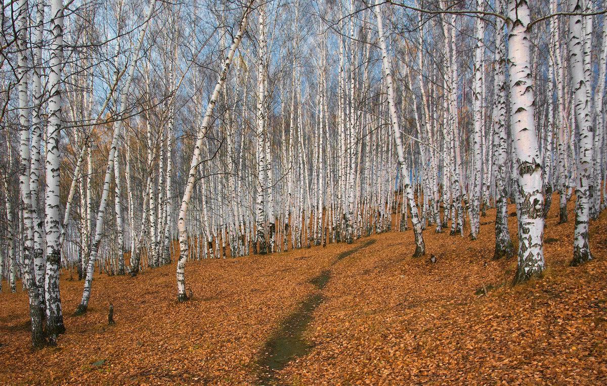 берёза осенью