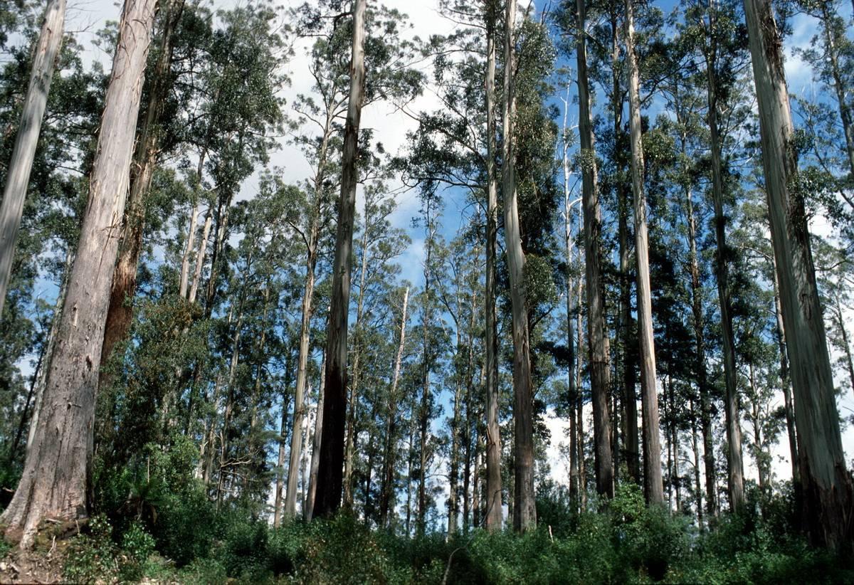 'эвкалиптовый лес