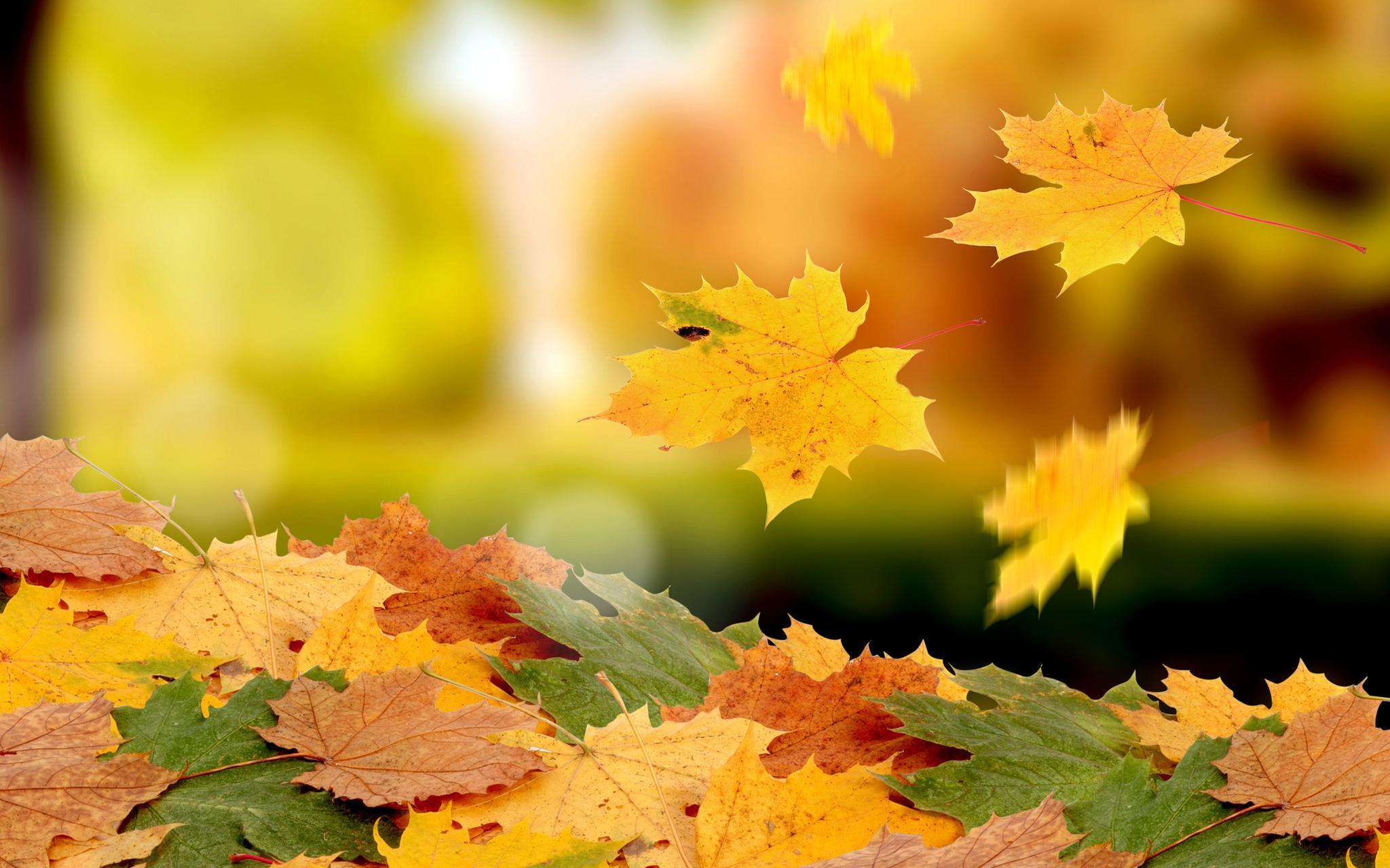 кленовый листопад