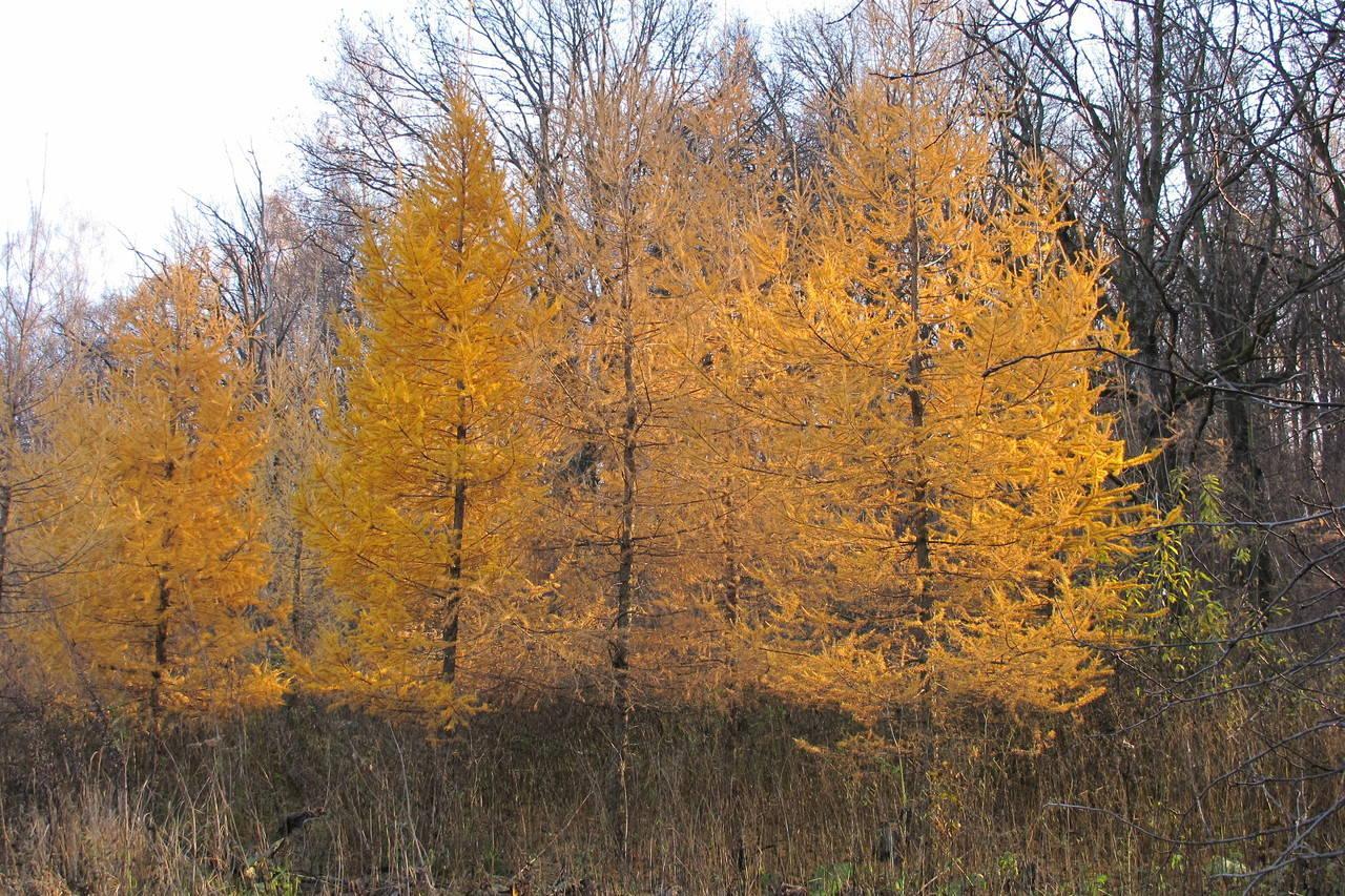 жёлтые лиственницы