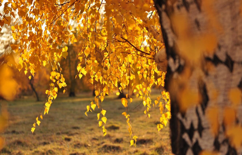 ветви берёзы на закате