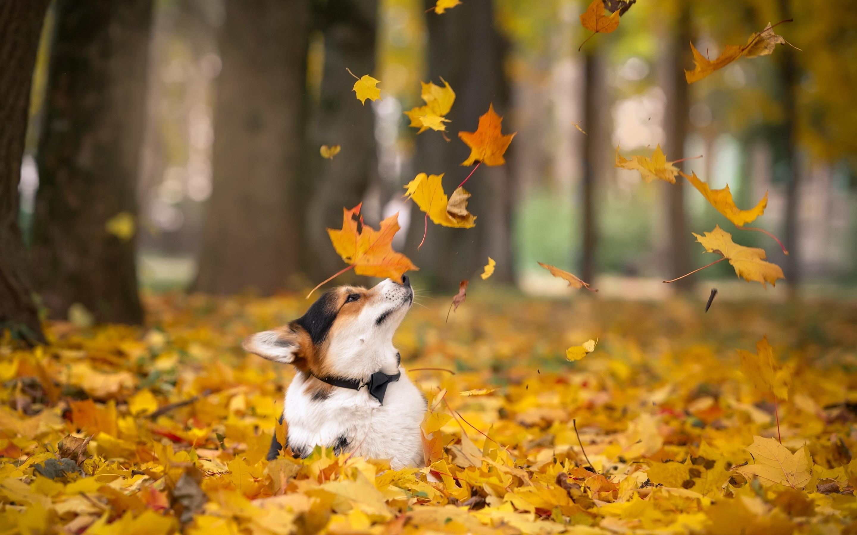 собака и листья клёна