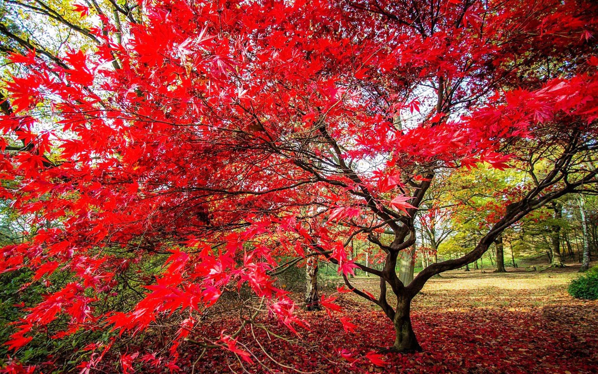 покрасневшие листья клёна