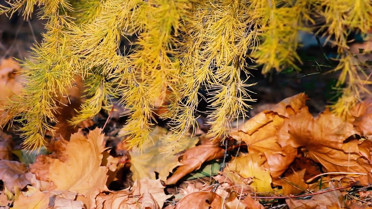 желтые иголки лиственницы и осенние листья