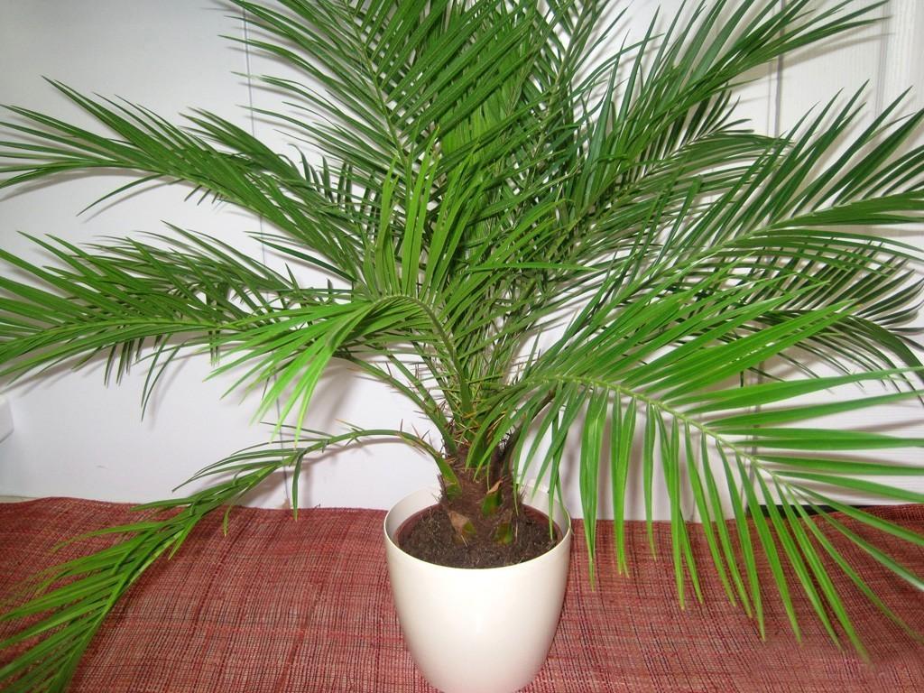фнинковая пальма в комнате