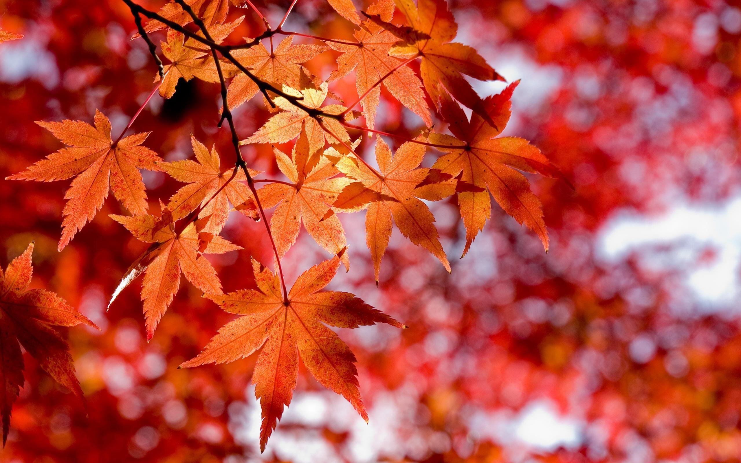 красные листья клёна